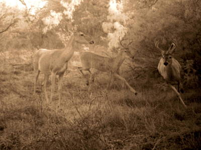 Photograph - Quest For A Doe by James Granberry