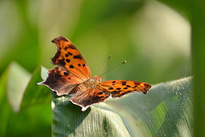 Photograph - Question Mark Butterfly by JD Grimes