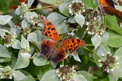 Meimei888 Digital Art - Question Mark Butterfly On Mountain Mint by Eva Kaufman