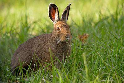 Snowshoe Hare Photograph - Quick Change Artist by Sandy Sisti