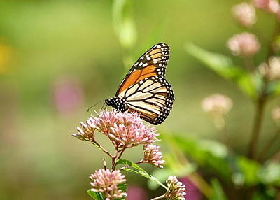 Photograph - Quintessential Monarch Butterfly by Mary McAvoy