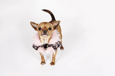 Offbeat Photograph - Quirky Portrait Of A Teacup Chihuahua by Brand New Images