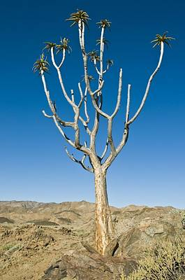 Semi Dry Photograph - Quiver Tree by Peter Chadwick