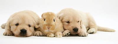 Rabbit And Puppies Print by Jane Burton