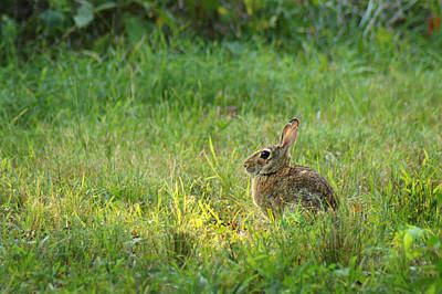 Photograph - Rabbit In The Clearing by Bill Pevlor