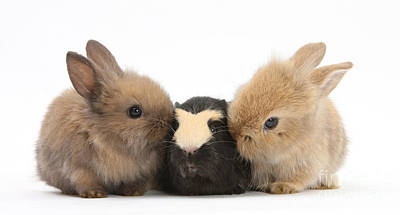 House Pet Photograph - Rabbits With Guinea Pig by Mark Taylor