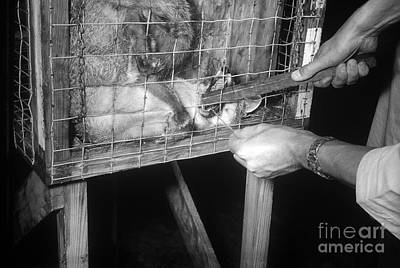 Rabid Fox, 1958 Art Print by Science Source