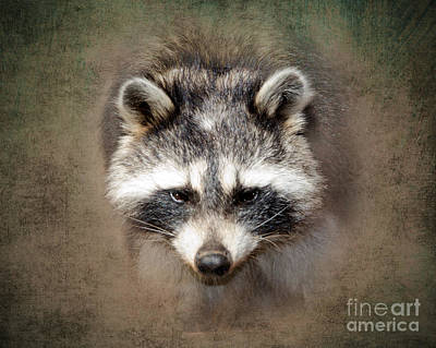 Raccoon Photograph - Raccoon 2 by Betty LaRue