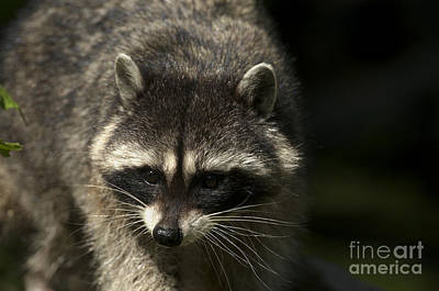 Photograph - Raccoon 2 by Sharon Talson