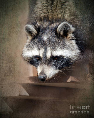 Raccoon Photograph - Raccoon 3 by Betty LaRue