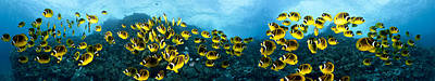 Hawaiian Fish Photograph - Raccoon Butterflyfish Panorama by Dave Fleetham - Printscapes