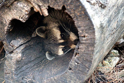 Art Print featuring the photograph Raccoon In Hiding by Kathy  White
