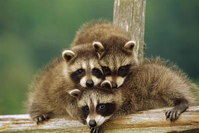 Photograph - Raccoon Procyon Lotor Three Orphan by Gerry Ellis
