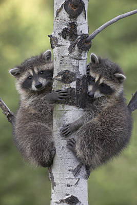 Raccoon Two Babies Climbing Tree North Art Print by Tim Fitzharris