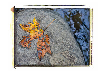 Photograph - Racehorse Leaf by Lannie Boesiger