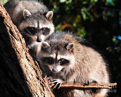 Photograph - Racoons by Jack Moskovita