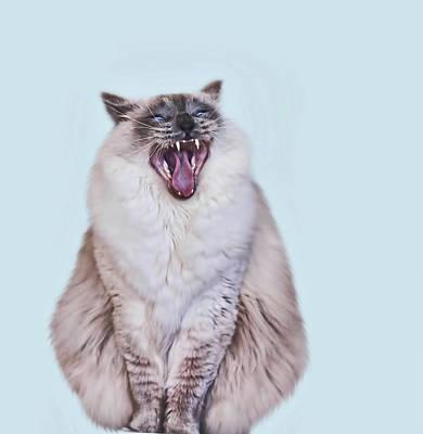 Ragdoll Photograph - Ragdoll Cat Yawning by May-lin Joe