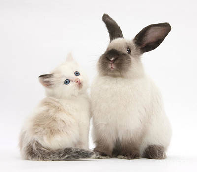 Photograph - Ragdoll-cross Kitten And Young by Mark Taylor