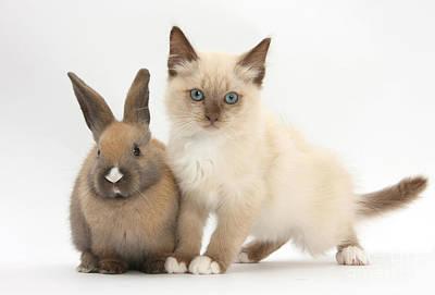 Ragdoll Kittens Photograph - Ragdoll-cross Kitten And Young Rabbit by Mark Taylor