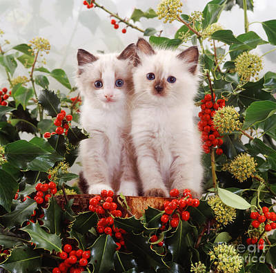 Animal Portraiture Photograph - Ragdoll-cross Kittens by Jane Burton