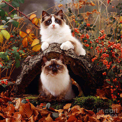 Animal Portraiture Photograph - Ragdoll Kitten And Birman Kitten by Jane Burton