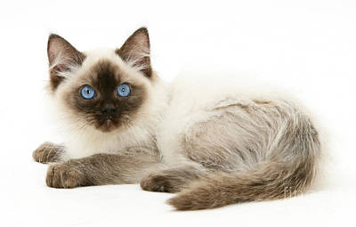 Photograph - Ragdoll Kitten by Mark Taylor