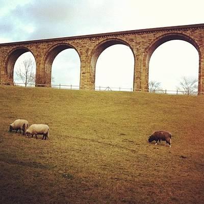 Sheep Photograph - Railway Bridge by N R