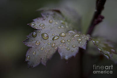 Photograph - Rain Drops. by Clare Bambers