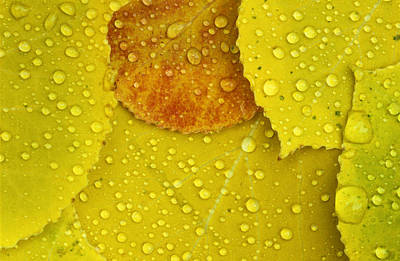 Ecu Photograph - Rain Drops On Aspen Leaves In Autumn by Mike Grandmailson
