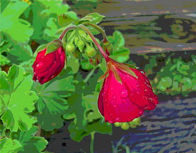 Rain On Geranium Buds Art Print by Padre Art
