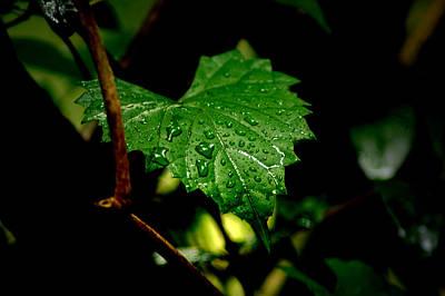 Photograph - Rain On Ivy by David Weeks
