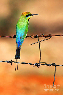 Australian Bees Photograph - Rainbow Bee-eater by Brian Gunter