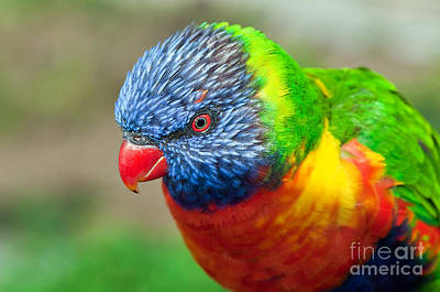 Photograph - Rainbow Lorikeet by Eddie Yerkish