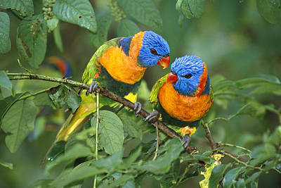 Photograph - Rainbow Lorikeet Pair by Matthias Breiter