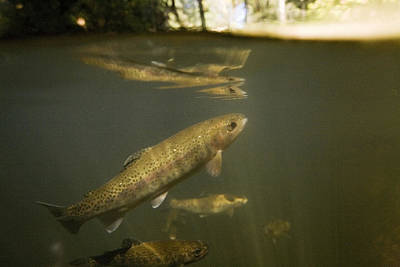 Brook Trout Image Photograph - Rainbow Trout In Creek  Aptos California by Sebastian Kennerknecht