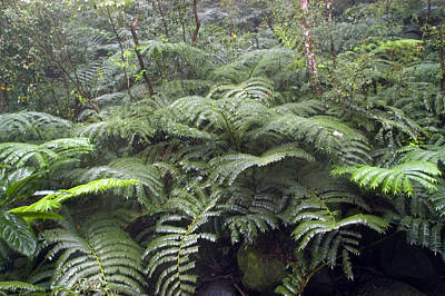 Manoa Falls Photograph - Raindrops Collect On Ferns by Stacy Gold