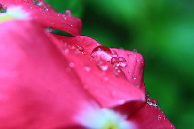 Photograph - Raindrops On A Flower I by Gene Berkenbile