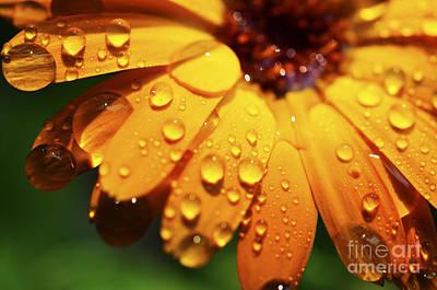Raindrops On Daisy Art Print by Thomas R Fletcher