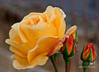 Colourfull Photograph - Raindrops On Roses by David  Hollingworth