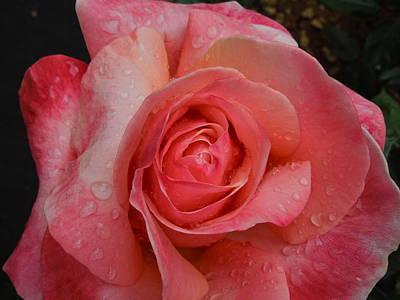Photograph - Raindrops On Roses Five by Diana Hatcher