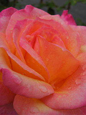 Photograph - Raindrops On Roses Nine by Diana Hatcher