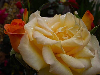 Photograph - Raindrops On Roses Three by Diana Hatcher