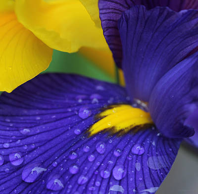 Photograph - Raindrops Purple Dutch Iris Flower by Jennie Marie Schell
