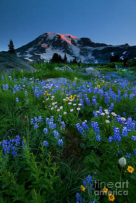 Anenome Photograph - Rainier Wildflower Dawn by Mike  Dawson