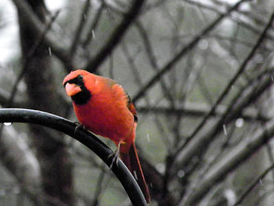 Photograph - Rainy Day Cardinal by Judy Wanamaker