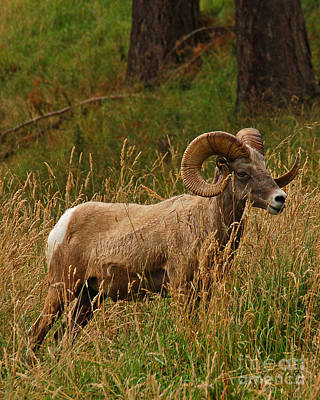 Photograph - Ram In Mountain Meadow by Chuck Flewelling
