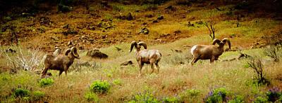 Photograph - Rams by Dale Stillman