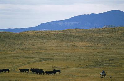 Working Cowboy Photograph - Rancher Moves His Cattle Under Little by Gordon Wiltsie