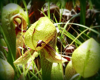 Photograph - Rare Darlingtonia Plants 2 by Cindy Wright