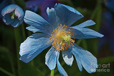Photograph - Rare Himalayan Blue Poppies by Byron Varvarigos